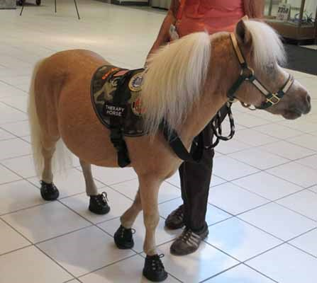 A miniature pony therapy horse named Hawk attends a ceremony honoring Vietnam veterans.